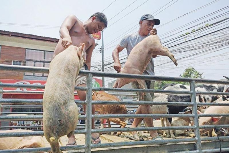 BAN. Worried that the African swine fever may endanger Bohol's hog industry, hog raisers will be asking their local government unit to ban the entry of pork and pork-related products from Cebu City. (SunStar file)