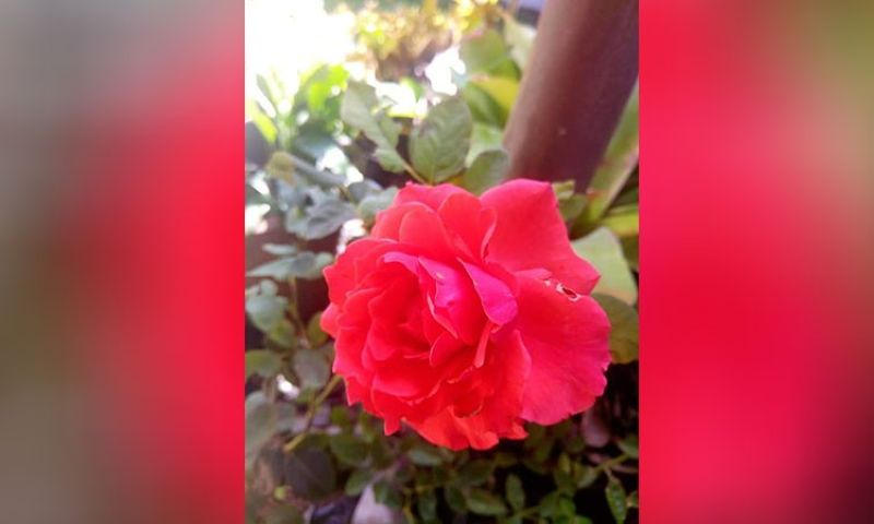 BACOLOD. Flowers that bloom help relieve stress and anxiety. These flowers were grown by Sugar Cuenca-Tonogbanua, a local artist who   recently discovered her passion for gardening. (Carla N. Canet)