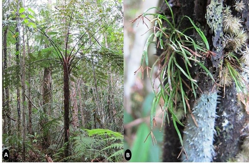 DAVAO. Actinostachys minuta is distinct from the other known Philippine species of grass ferns because of its diminutive epiphytic habit, as it grows on another tree and a habitat restricted to the trunks of the tree fern. (Photo by DENR-Davao)