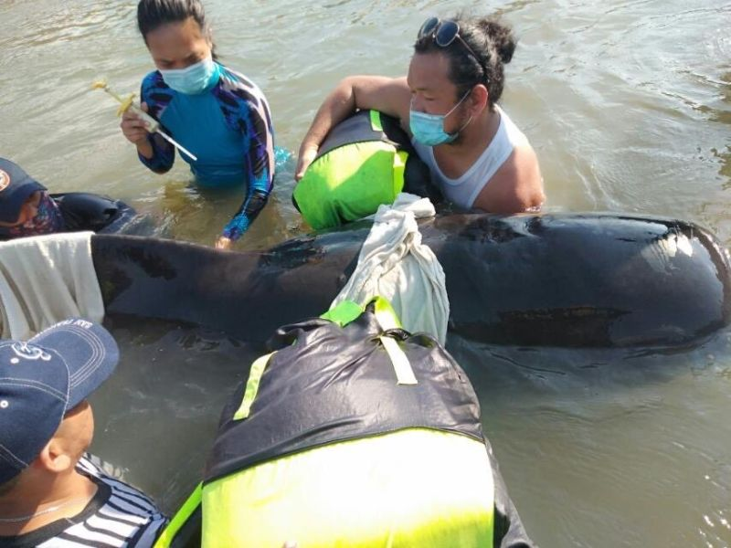 PAMPANGA. The Las Casas Filipinas de Acuzar team assists personnel of the Philippine Coast Guard, Bureau of Fisheries and Aquatic Resources in getting a blood sample from a pilot whale rescued at the coastal waters of the heritage property. (Contributed photo)