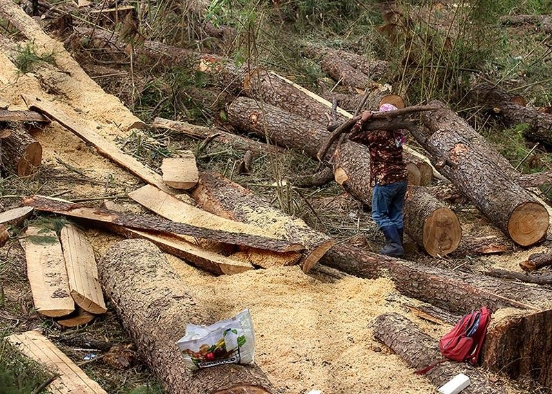 BAGUIO. A worker carries a felled pine log along Legarda road in this photo taken 2019. On Monday, Baguio City Councilors want to impose a five-year tree cutting moratorium for both residential, business and public areas in an ordinance proposed this week. (Jean Nicole Cortes)