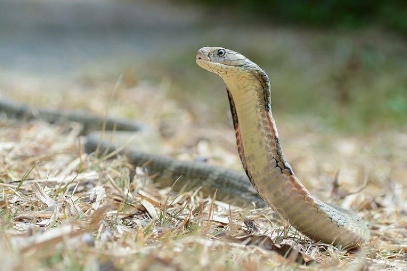 King Cobra. (Hulagway iya sa Thai National Parks, https://www.thainationalparks.com/kaeng-krachan-national-parkhttps://www.thainationalparks.com/kaeng-krachan-national-park)