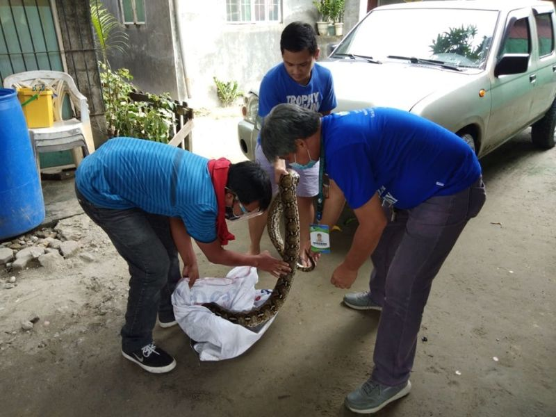 PAMPANGA. A 12-foot reticulated python is turned over by rescuers in Barangay Dolores to the Pampanga Provincial Environment and Natural Resources Office and City Agriculture and Veterinary Office on August 18, 2020. (City of San Fernando Information Office)