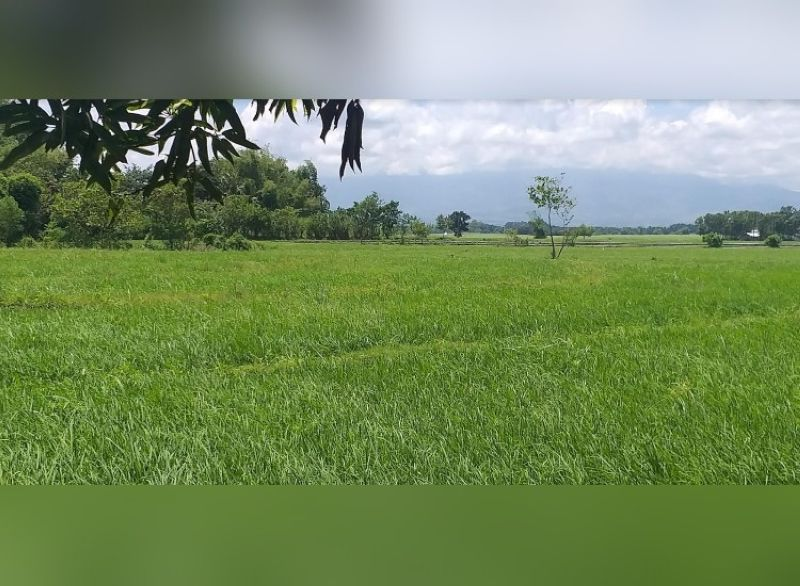 PALAY PRODUCTION UP. Western Visayas notes higher palay production during the first half of the year. (EPN Photo)