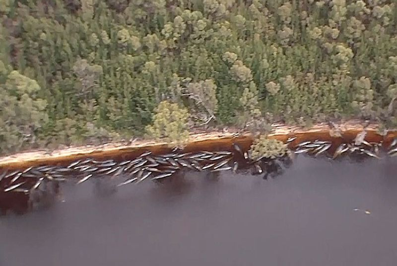 AUSTRALIA. In this image made from aerial video shows numerous stranded whales along the coastline Wednesday, September 23, 2020, near the remote west coast town of Strahan on the island state of Tasmania, Australia. (AP)