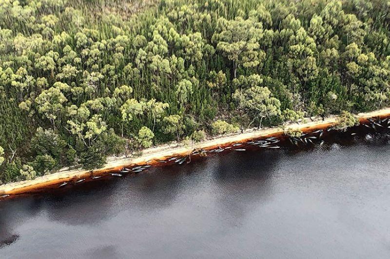 AUSTRALIA. Whale carcasses are scattered along the water's edge near Strahan, Australia, Wednesday, September 23, 2020. (AP)