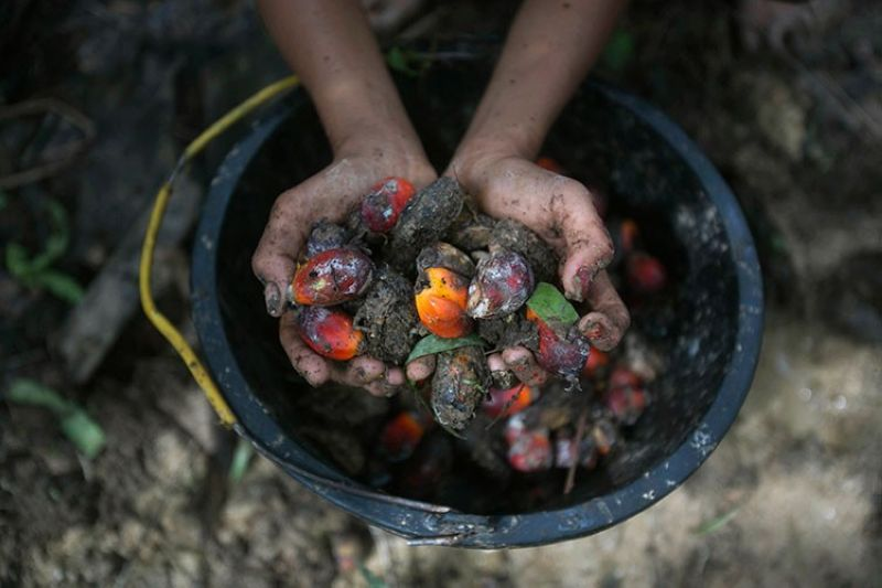 INDONESIA. A little girl holds palm oil fruit collected from a plantation in Sumatra, Indonesia, November 13, 2017. An Associated Press investigation has found many palm oil workers in Indonesia and neighboring Malaysia endure exploitation, including child labor. (AP)