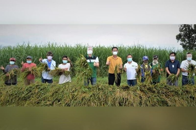 FRUITS OF LABOR. Governor Eugenio Jose Lacson lauds the efforts of the farmers, Office of the Provincial Agriculturist, and Sugar Regulatory Administration in the success of their first inter-cropping project merging sugar and rice in one planting environment.  (Richard Malihan / PIO photos)