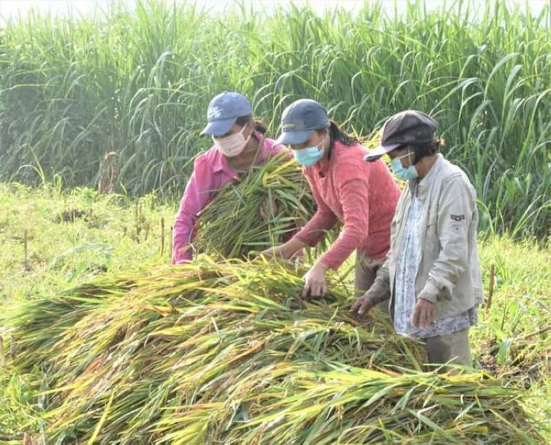 BACOLOD. The Provincial Government is finalizing measures to help farmers in Negros Occidental amid the prevailing low buying prices of palay. (Contributed photo)