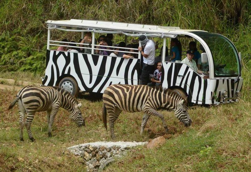SAFARI. The 170-hectare Cebu Safari Adventure Park in Carmen, Cebu has 1,200 different animals. Rep. Duke Frasco recently filed a bill that seeks to officially declare the safari as a tourist destination in the Philippines. (SunStar file)