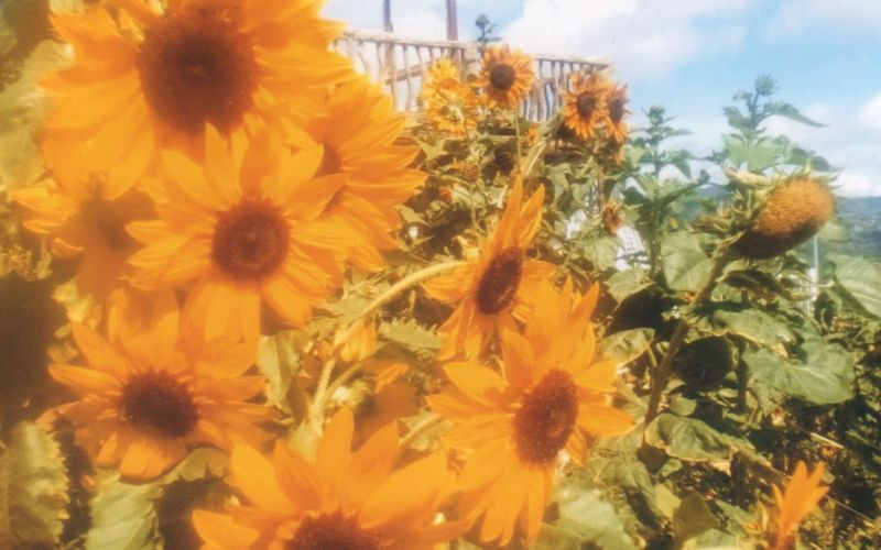 BLOOM. A preview of summer with these luscious and lovely huge sunflowers abloom and aplenty at the farm.
