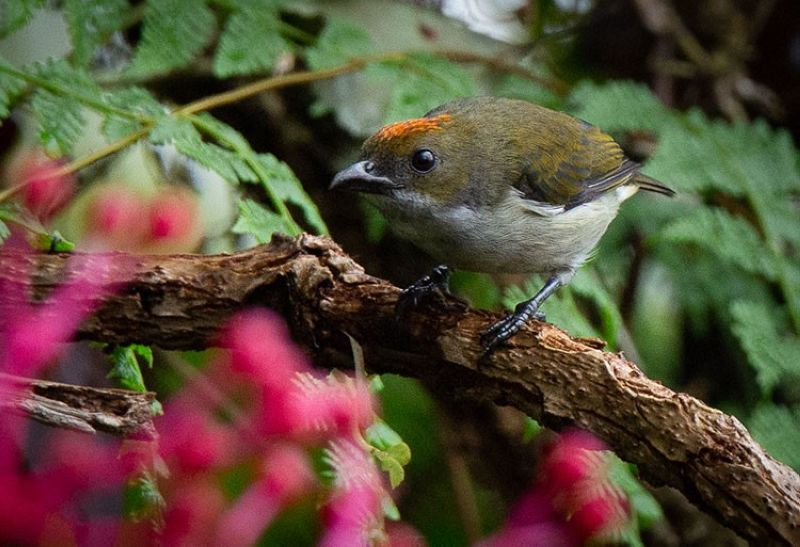 GETTING THERE. A juvenile male Flame-Crowned Flowerpecker. (Eden Jhan Garay Licayan)