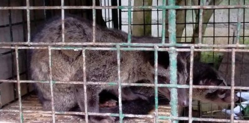 RESCUED. Operatives of the Department of Environment and Natural Resources in Central Luzon rescued two palm civet cats in Bulacan province. (DENR photo)