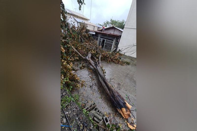 WRATH OF ULYSSES. A tree was not spared by Tropical Storm Ulysses like the millions of pesos worth of crops damaged in Pampanga. (Photo by Chris Navarro)