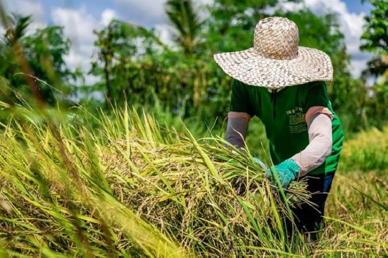BACOLOD. DA-Western Visayas attributes the significant increase in the palay production performance to the expansion of the production area in the region. (Contributed Photo)