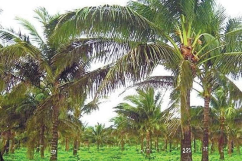 TREE OF LIFE. By establishing coconut nurseries, Cebu Province will become self-sufficient and farmers will have more income as coconuts are versatile crops and can produce high-value products like virgin coconut oil and coco sugar, which have big demand overseas. (SunStar file)