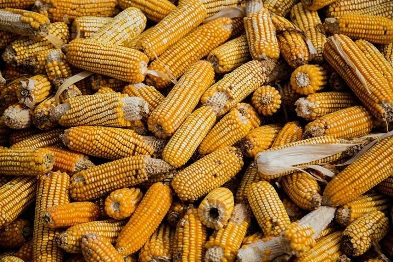 DEMAND. Asturias is known as a major producer of yellow corn in Cebu, but its production is not enough to meet the demand in the province. /  SUNSTAR FILE