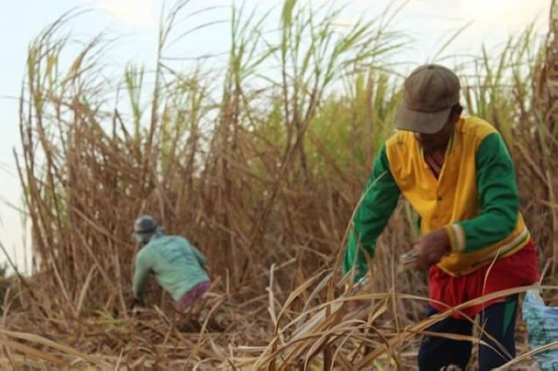 BACOLOD. An official of the Sugar Regulatory Administration said the sugar industry is doing well amid the prevailing Covid-19 pandemic, with current prices of sugar at a profitable level. (Contributed photo)
