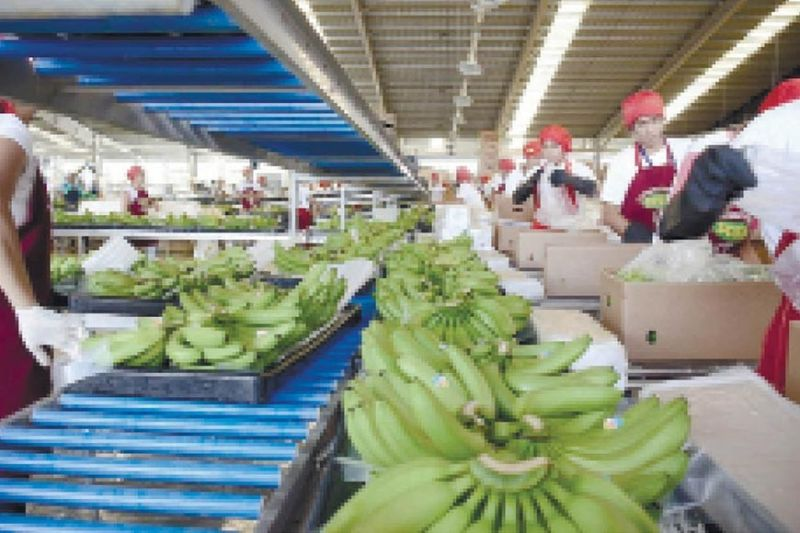TOP EXPORTS. Cavendish banana is one of the country's top exports to China along with fresh pineapple, coconut oil, seaweed, desiccated coconut, mud crabs and preserved or prepared pineapple. (SunStar file)
