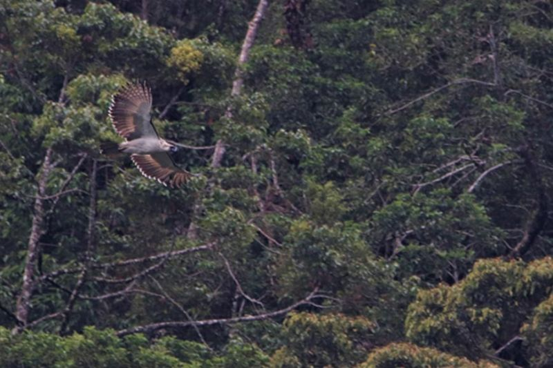 JUVENILE. A two-year-old Philippine eagle soaring above the forests within the Mt. Apo Geothermal Reservation. (PEF photo)