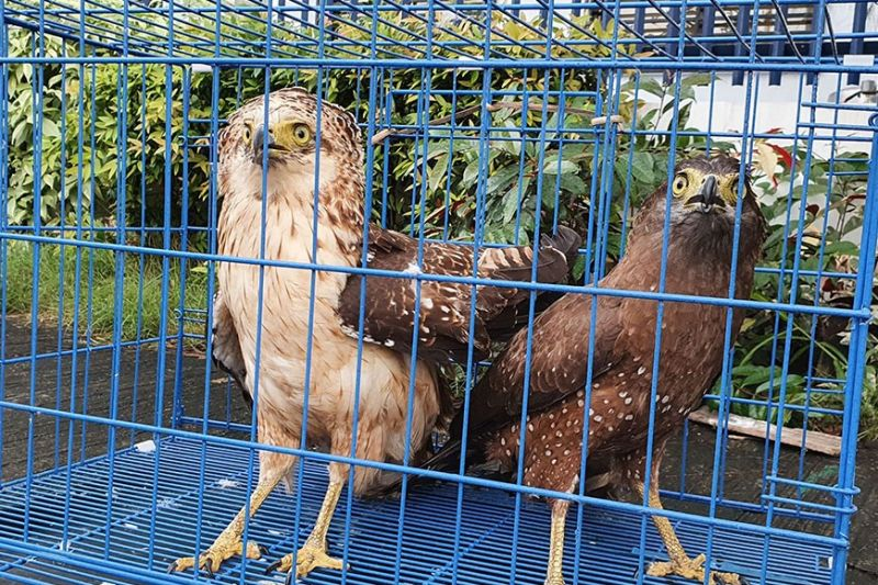 RESCUED. The DENR-Community Environment and Natural Resources Office (Cenro) based in Baliwag, Bulacan recently rescued two raptors and a water bird from an alleged wildlife poacher in an effort to save the remaining biodiversity in the province. (DENR photo)