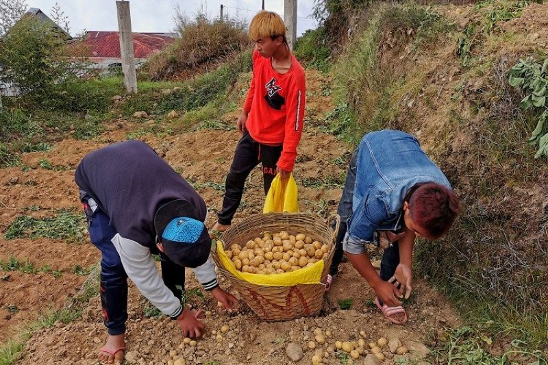 BENGUET. Farmers in Cabuyao, Sto. Tomas, Tuba, Benguet are in a jovial mood as prices of potatoes at the Benguet Agri- Pinoy Trading Center (BAPTC) is at an all-time high. Potatoes sold at the BAPTC start at P80 depending on the size. (Photo by Dave Leprozo Jr.)