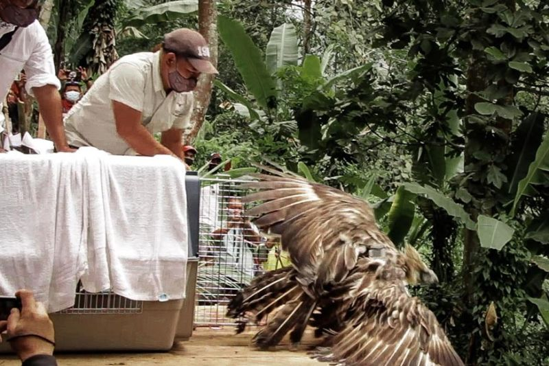 BACK TO THE WILD. The Philippine Eagle Foundation (PEF) has rescued eight eagles since March 2020 until January 2021. Of the eight, one died due to malnutrition, three were released back to the wild, and four remained at the PEF's rehabilitation center. (Philippine Eagle Foundation photo)