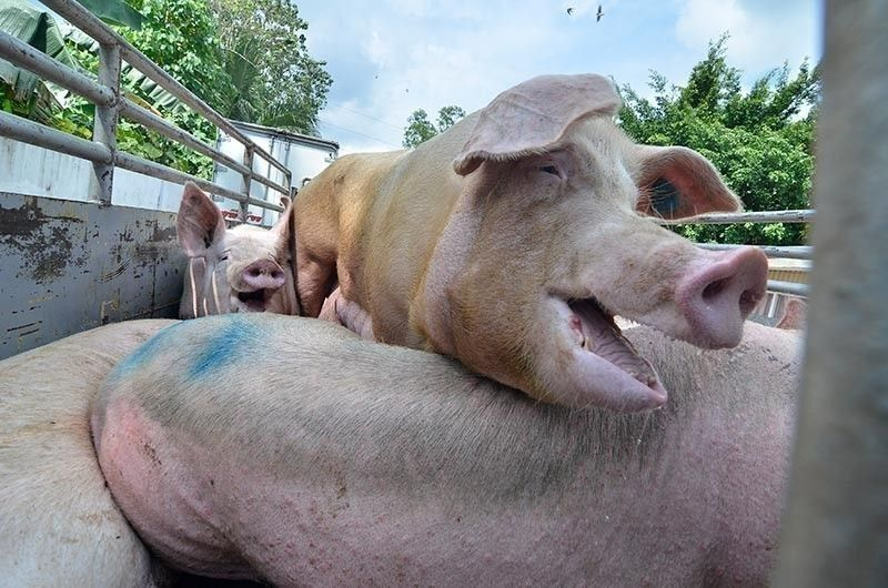 PIG PROTECTION. To safeguard Cebu's P11 billion hog industry from African swine fever, the Provincial Government has come up with stringent measures to prevent trucks accredited to transport pigs from bringing the highly infectious and fatal disease to the island. / (SunStar file)