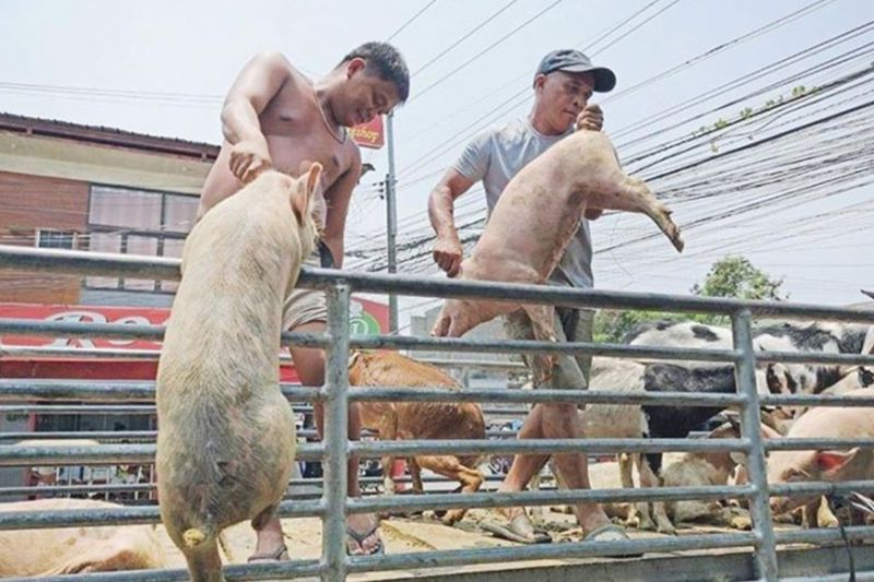 MORATORIUM. Besides protecting the supply in Central Visayas, the moratorium on the export of live hogs from Cebu will also allow time for repopulation.  (SunStar file)