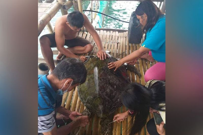 ZAMBOANGA. Environment personnel examine the female green sea turtle they rescue along with the Bureau of Fisheries and Aquatic Resources last week in Kabatan village, Vincenzo Sagun, Zamboanga del Norte. The turtle, however, dies shortly after it was rescued due to ingestion of plastic wastes. (SunStar Zamboanga)