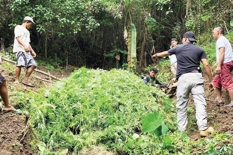UPROOTED. Around 22,000 stalks of fully-grown marijuana plants are uprooted by operatives of the Cebu Provincial Police Office (CPPO) in two sitios in Barangay Kaluangan, Asturias town on Wednesday, Feb. 24, 2021. The uprooted marijuana stalks have a total worth of P8.7 million. / Contributed