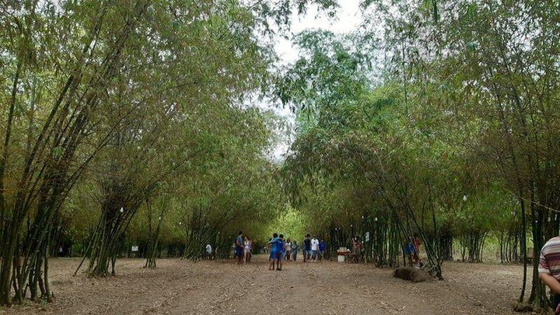 LASANG SA KAWAYAN: Kini ang manmade Bamboo Forest sa Barangay Luy-a, lungsod sa Medellin nga hayahay suroyan sa mga turista. / Arvie N. Veloso