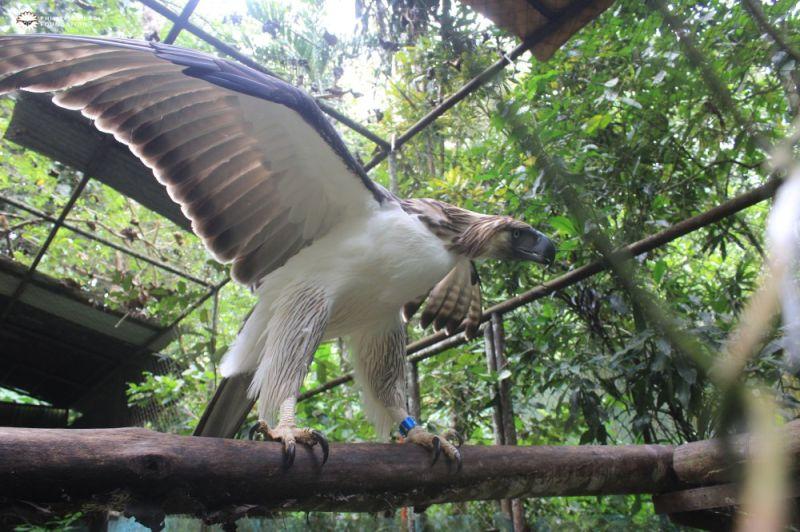Photo courtesy of the Philippine Eagle Foundation