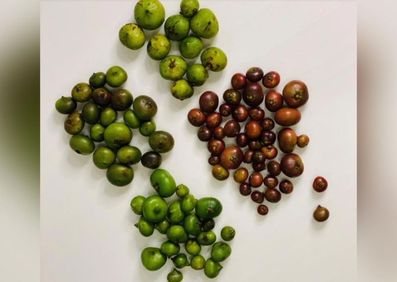NEGROS OCCIDENTAL. Ark of Taste ingredients like these four varieties of batuan will be highlighted at the Earth Market. Other ingredients included criollo cacao, tinigib corn, adlai and kadyos beans. (Contributed photo)