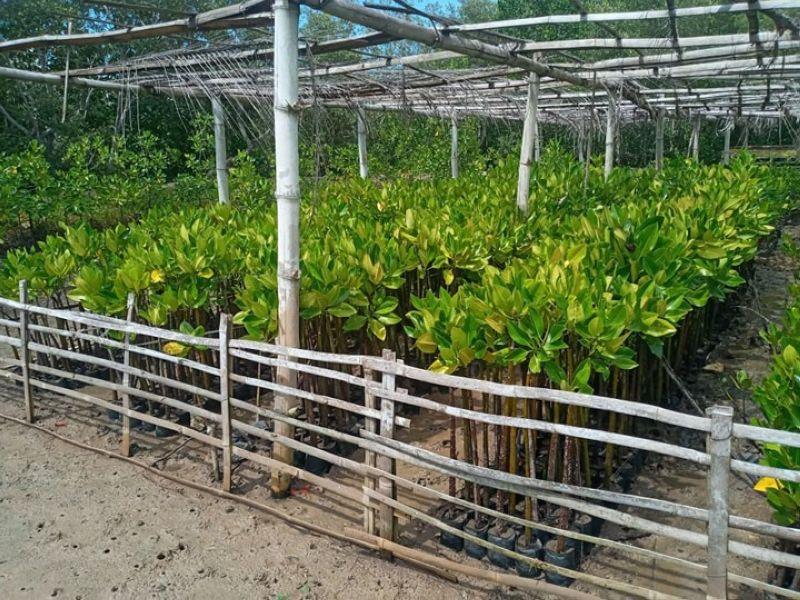 ZAMBOANGA. The Office of the City Environment and Natural Resources (OCENR) maintains a mangrove propagules nursery in support to Zamboanga City's mangrove coastal rehabilitation project. A photo handout shows the mangrove propagules nursery in Mampang village the OCENR maintains. (SunStar Zamboanga)