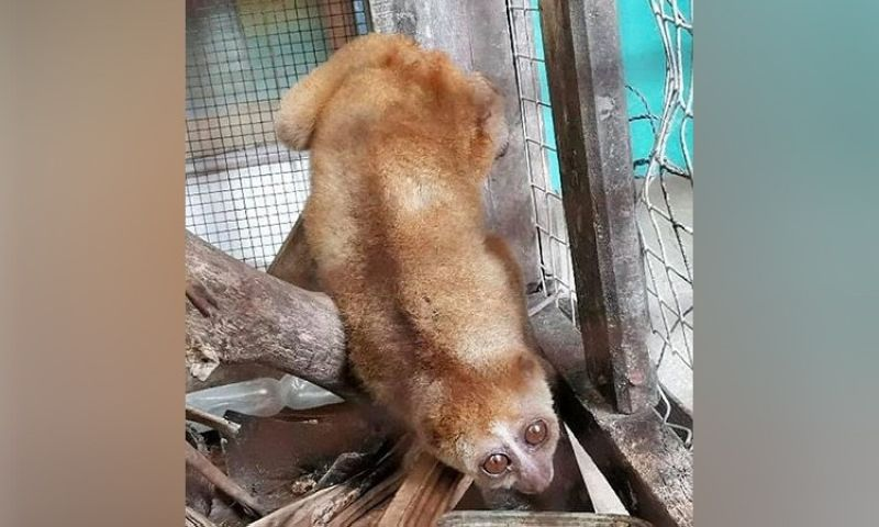 ZAMBOANGA. Personnel of the Ministry of Environment, Natural Resources, and Energy (Menre) in the Bangsamoro Autonomous Region in Muslim Mindanao rescue last week a Philippine slow loris locally known as