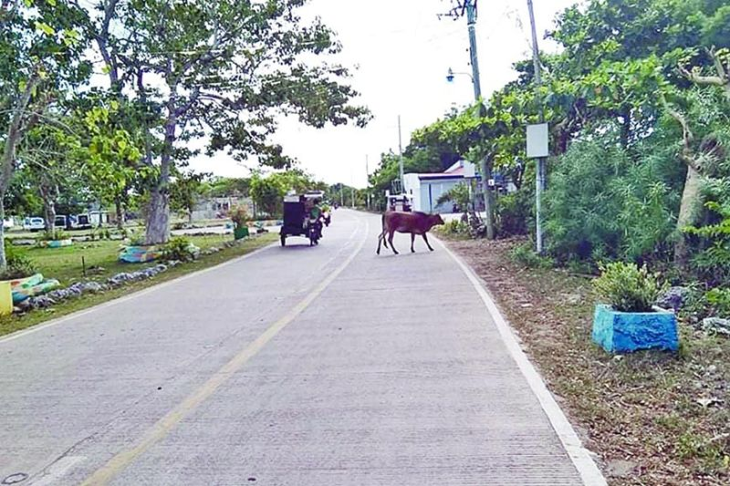 ROAD HAZARD. Owners of animals found roaming the streets of Lapu-Lapu City will be fined. Encounters with such animals have resulted in some vehicular accidents. (ALAN TANGCAWAN)