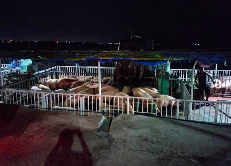 NEGROS. Slaughter hogs from Negros Occidental being loaded for shipment to Batangas Port. (Contributed photo)