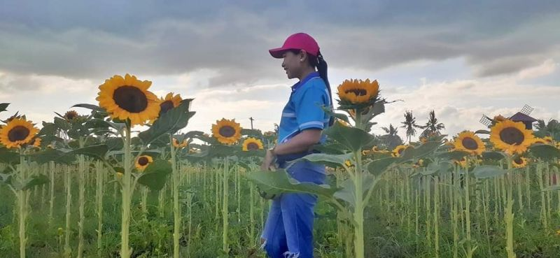 ILOILO. Bacolod broadcast journalist Shiela Gelera visits  the Sunflower farm located at Tinurian, Barotac Nuevo, Iloilo City. (Contributed photo)