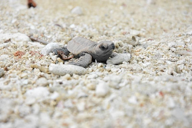 HATCHLING. A sea turtle hatchling released at the Cleanergy Park. The park serves as a nesting ground for the critically endangered Hawksbill sea turtle. (Photo by Davao Light)