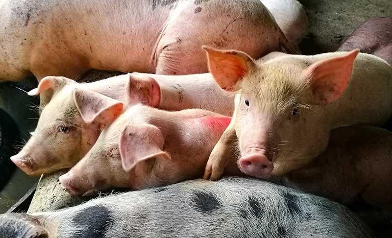 MGA BABOY SA SUGBO: Ang mga baboy sa Sugbo gipanalipdan nga dili matakboyan og African Swine Fever (ASF) pinaagi sa mas gipahugtan nga monitoring aron maapektohan ang P11 biyunes nga hog industry sa lalawigan. / SunStar File