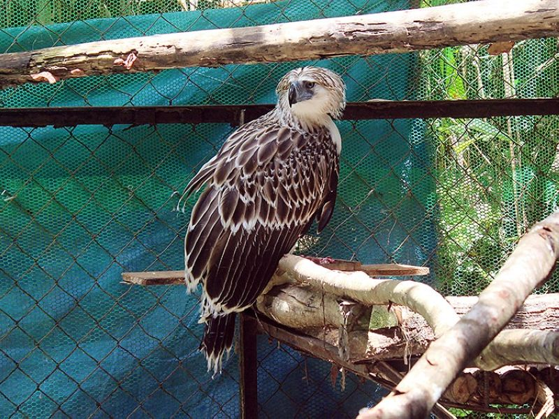 DAVAO. June 5, 1:30 p.m., live tour of the Philippine Eagle Center via Zoom. You might catch rescued Philippine Eaglet Agsamon. (Contributed photo)