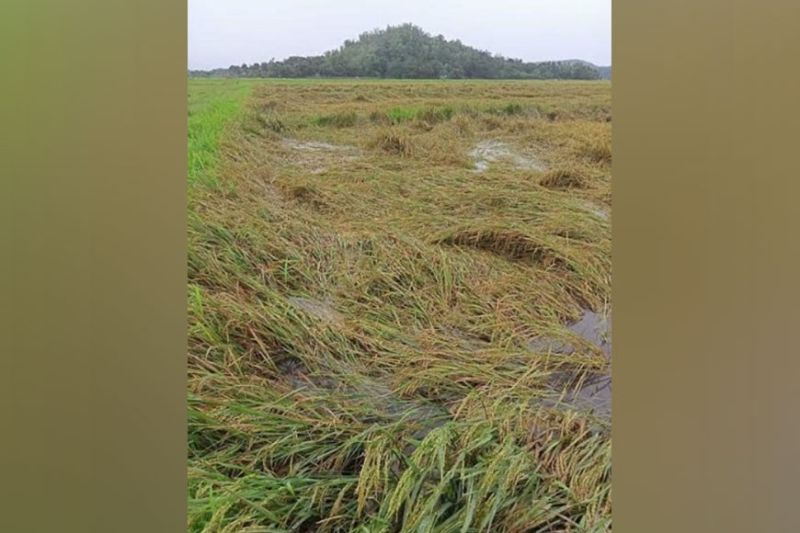 NEGROS. Portion of damaged rice farm in Pontevedra town due to the recent Tropical Storm Dante, which hit the province. (Contributed photo)