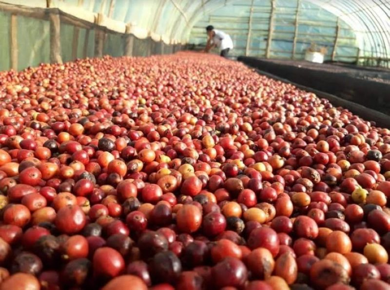 MURCIA. Coffee beans grown at the farm of Teddy Cañate of Minoyan Murcia Marginal Coffee Association in Murcia town. His entry was graded as