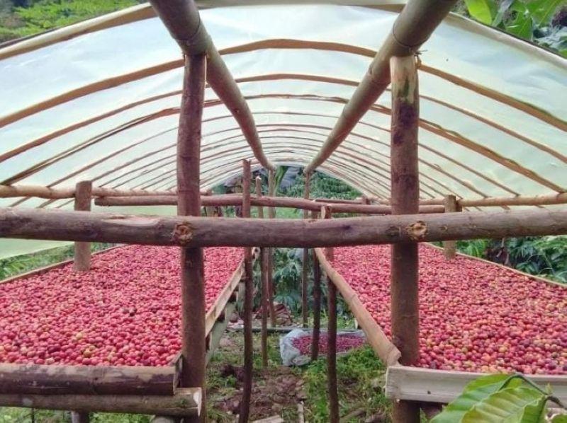 MURCIA. Robusta coffee beans grown by Minoyan Murcia Marginal Coffee Growers in Barangay Minoyan in Murcia town are graded