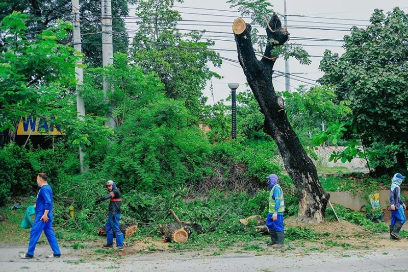 TRIMMING TREES. A team from San Fernando's City Engineer's Office trim old trees along Lazatin Boulevard in preparation for the rainy season. (City of San Fernando Information Office)