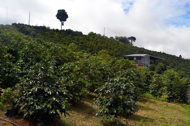 DEMAND. ACDI/VOCA Business Development Coordinator Emmanuel Quisol said while there is a huge potential for coffee beans from Davao Region to make it big, the local industry still struggles to meet the local demand in terms of volume. (RJ Lumawag)