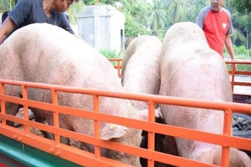 NEGROS. Negros Occidental still tops commercial swine production in Western Visayas as per report of the Philippine Statistics Authority. (File photo)