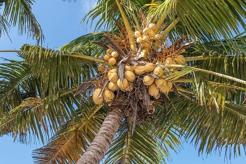 HIGH-VALUE CROP. Besides coffee and cacao, the Department of Trade and Industry is also studying the global value chain of coconut whose global market demand remains high. Coconut can produce high-value products, such as coco sugar, coco water and furniture. (SunStar file)