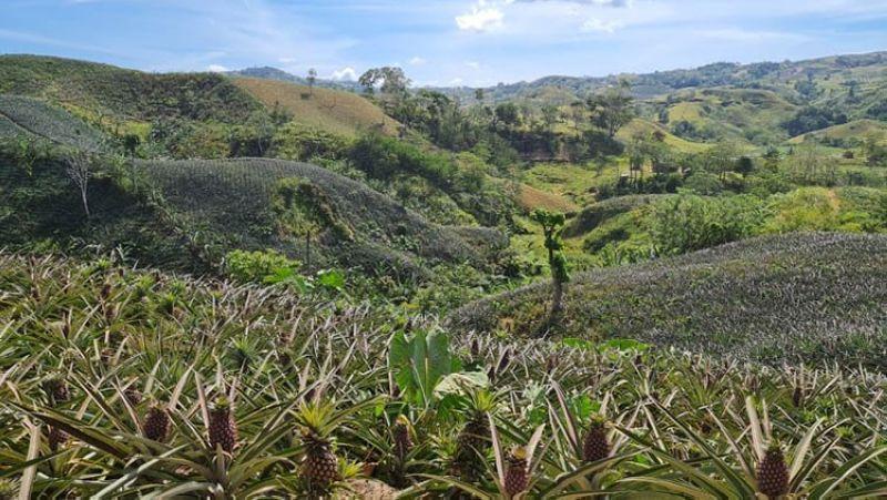 NEGROS. Portion of the 1.5-hectare pineapple farm in Sitio Alindahawan in Barangay Bago, Don Salvador Benedicto town. (Erwin P. Nicavera)